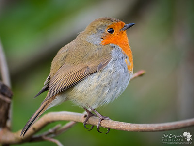 Little Tubby Robin