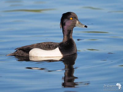 Tufted Duck 2