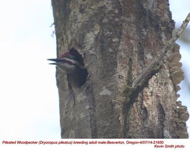 Pileated Woodpecker M 21850.jpg