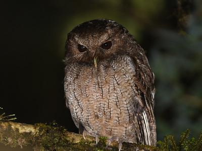Columbian Screech-Owl