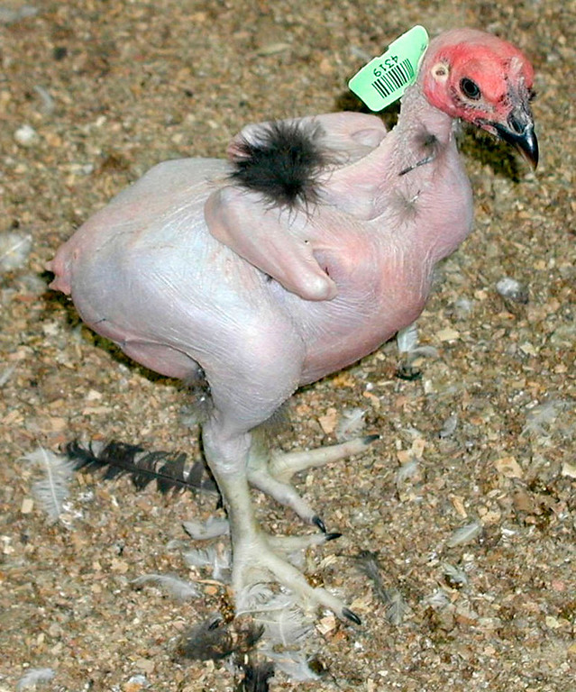 ". A featherless chicken is seen in this undated handout photo from the Hebrew University School of Agriculture in Rehovot. Israeli researcher Avigdor Cahaner is breeding a fowl that will stay cool in the Middle East and other hot regions. The school has several dozen of the new chickens, a crossbreed between normal chickens and birds already balding because of a naturally-occuring ""naked neck\"" gene.  (AP Photo/HO/Hebrew University)"