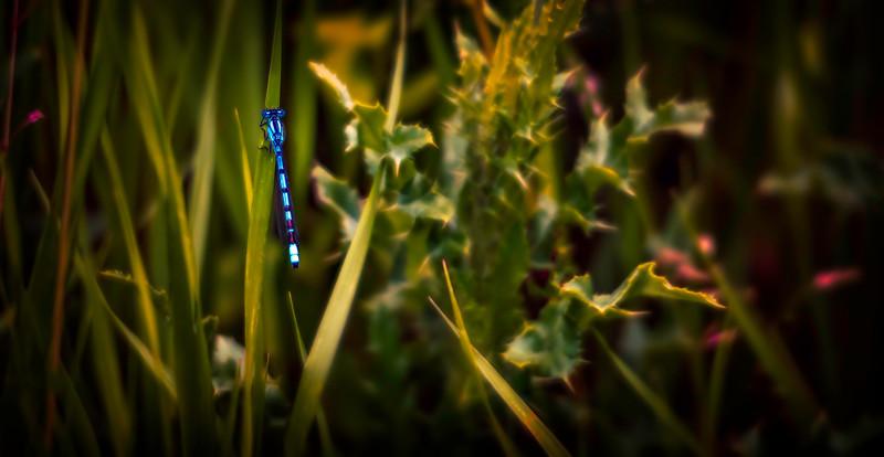 Dragonflies-066.jpg