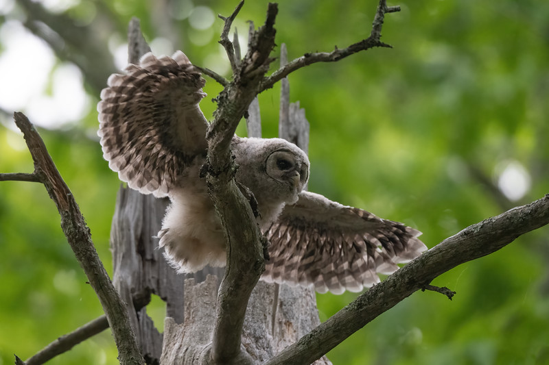 #1640 Barred Owlet