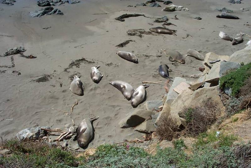 Seals sunning on California Coast