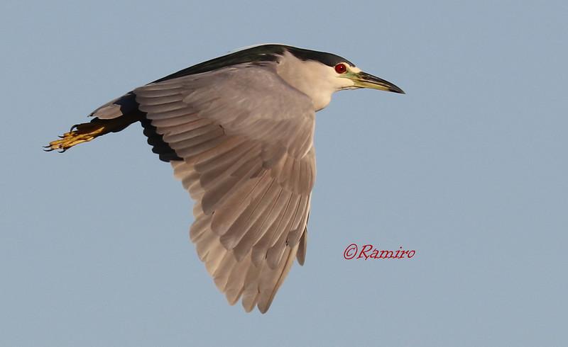Black Crowned Night Heron IMG_4371.jpg