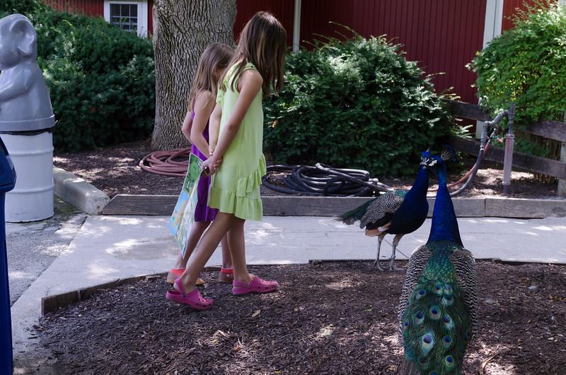 Peacocks at the Fort Wayne Zoo