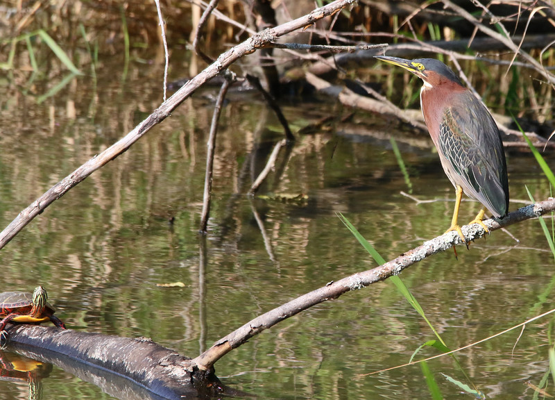 Green heron and turtle.jpg