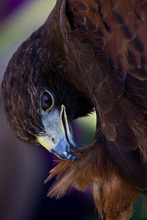 Audubon Raptor Weekend - 10 September 2011