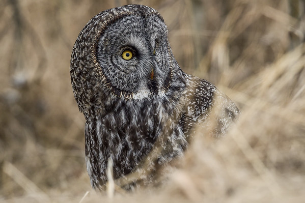 3-14-16 Great Gray Owl - Pt. 4