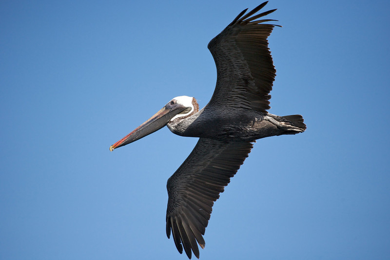 Brown pelican. Published in the Spring/Summer 2012 issue of Destinations magazine (New Zealand).