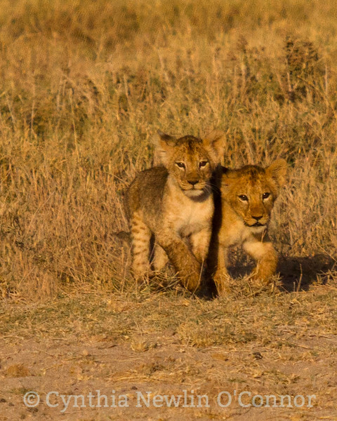 Cat Fight and More - 11 - Cubs Watching Rescue Safe - 8 .jpg