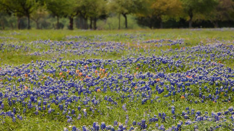 2015_4_3 Texas Wildflowers-7849.jpg