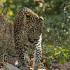 Leopard on the tracks in Ranthambhore tiger reserve