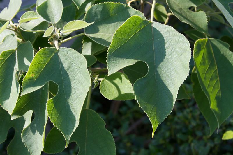 Broussonetia papyrifera - Paper Mulberry