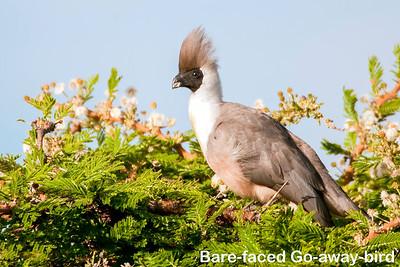 Turacos & Cuckoos