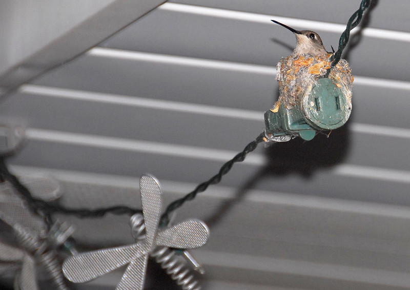 6/19/07 – Strung along the roofline of the house above our back deck are these dragonfly lights. Where two of the strings plug together this little humming bird built a nest. We would have missed it but the bird kept buzzing our heads when we were out on the deck.