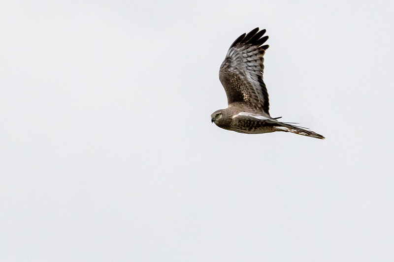 Northern Harrier Hawk - NH III