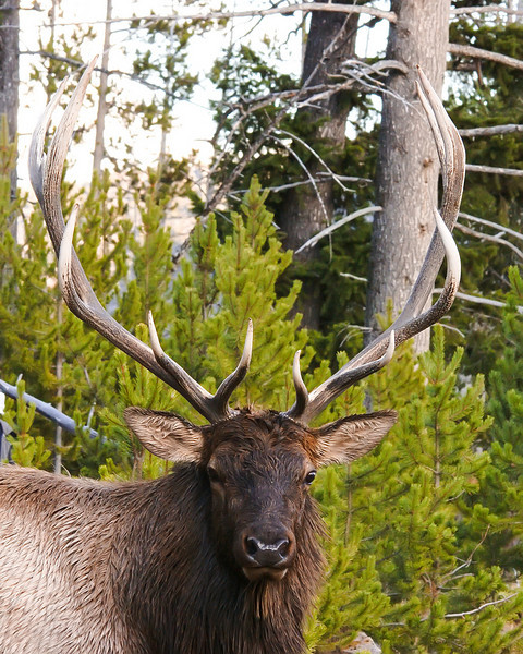 Bull Elk, Madison 1, Yellowstone.jpg