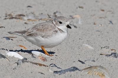 Shore Birds of the Carolina Coast