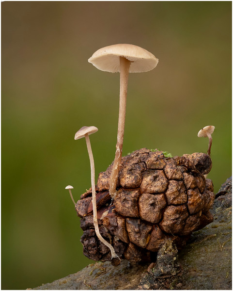 Conifer Cone cap (Baeospora myosura on Scots pine cone