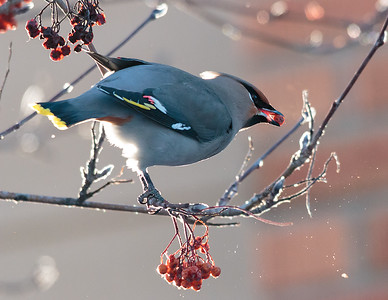 A Bohemian Waxwing feeding on winter berries