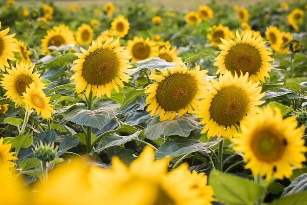 Sunflowers Carla Ann McCulla girls