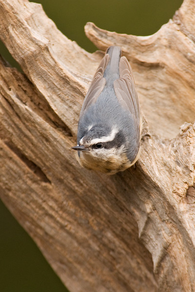 Nuthatch - Red-breasted - female - Dunning Lake, MN - 03