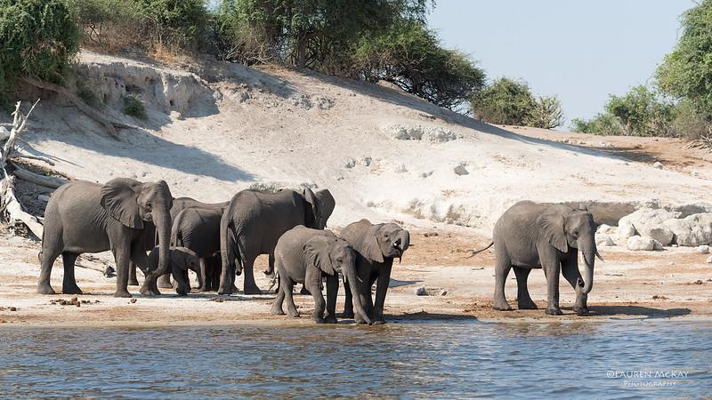 African Elephant, Chobe River, NAM, Oct 2016-2.jpg
