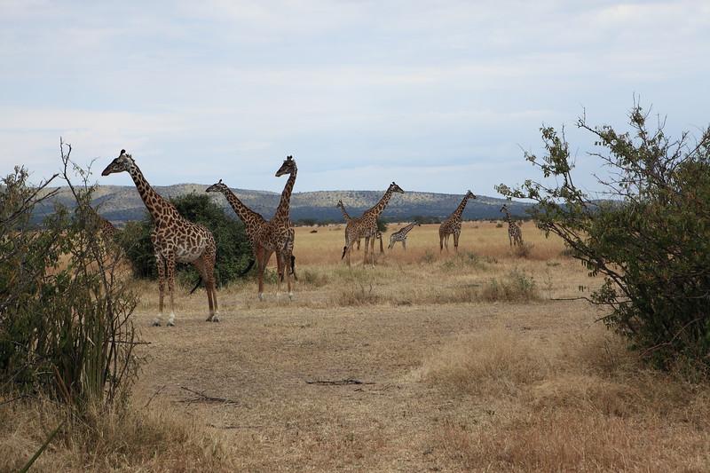 Giraffes on Lookout.JPG