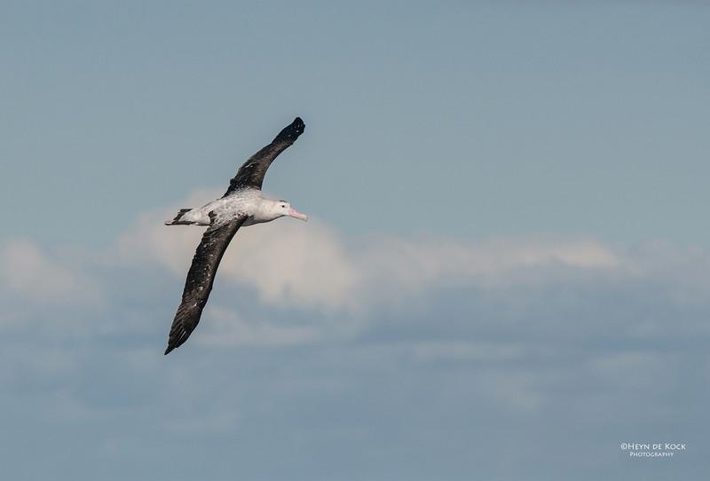 Antipodean Albatross, Wollongong, NSW, Aus, Aug 2012.jpg