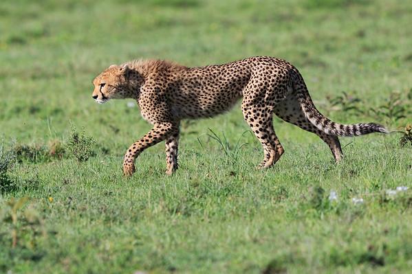 Cheetah Tanzania 2016