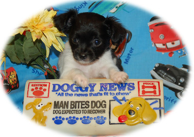 Puppies used for Fund Raisers & Business Advertising Services