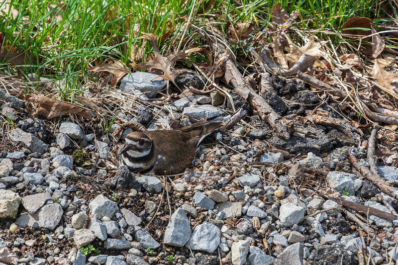 Pickle-Killdeer-Sittingon4eggs-4.14c.jpg