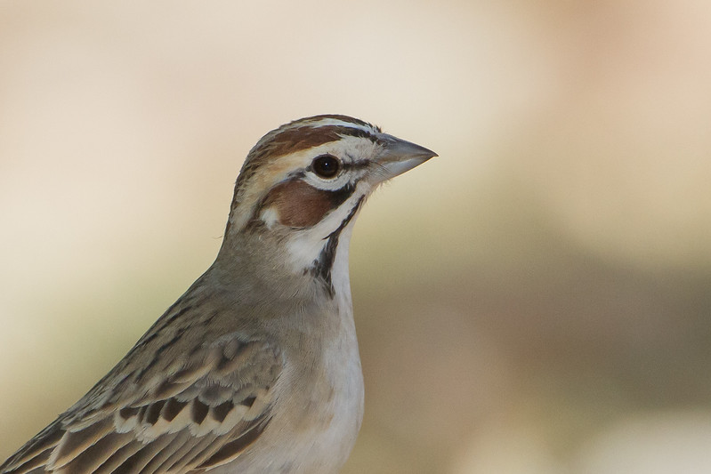Lark Sparrow - Ash Canyon B&B, Hereford, AZ, USA