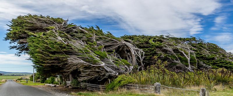 Windgeformte Bäume bei «Cosy Nook»