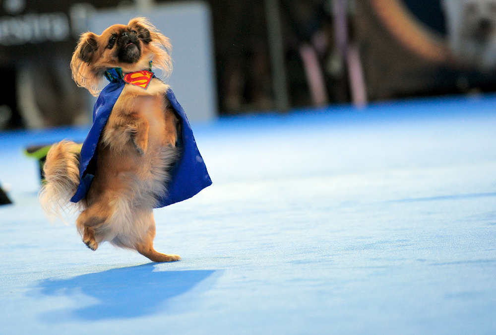 Description of . A dog performs during a comedy dog show by Leonid Beljakov\'s at the Pet fair in Barcelona on October 1, 2011. AFP PHOTO/ JOSEP LAGO