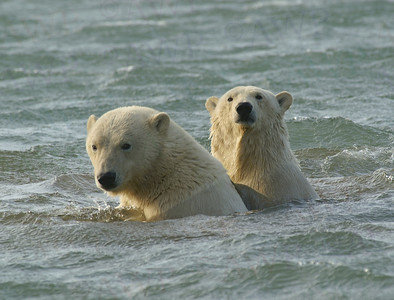 Polar Bears and Black Bears