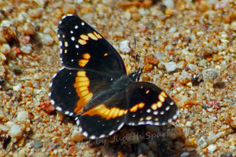 """Bordered Patch Butterfly ~ This small pretty butterfly was one of many species that were """"puddling"""" along the trail in Montosa Canyon in Southeast Arizona."""