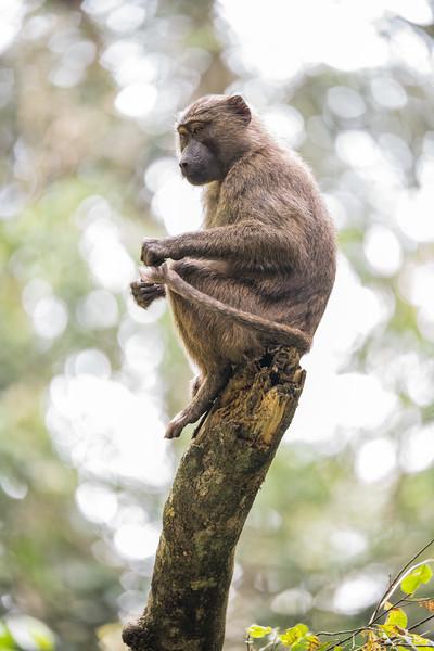 Uganda_T_Chimps-1468.jpg