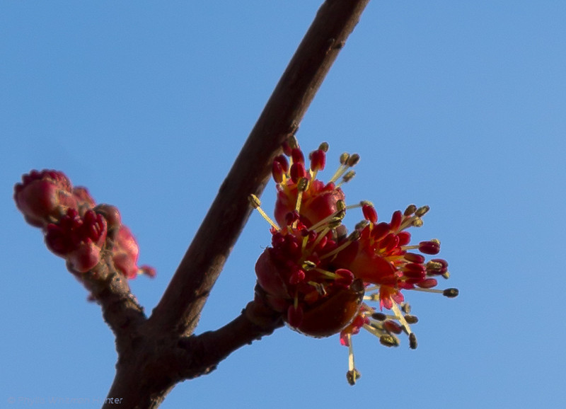 Flowers opening early on the red maple. Treasure Tree # 2 Red Maple.