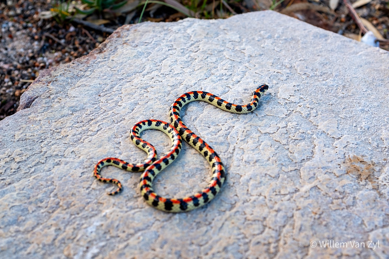 20201124 Spotted Harlequin Snake (Homoroselaps lacteus) from Montagu, Western Cape