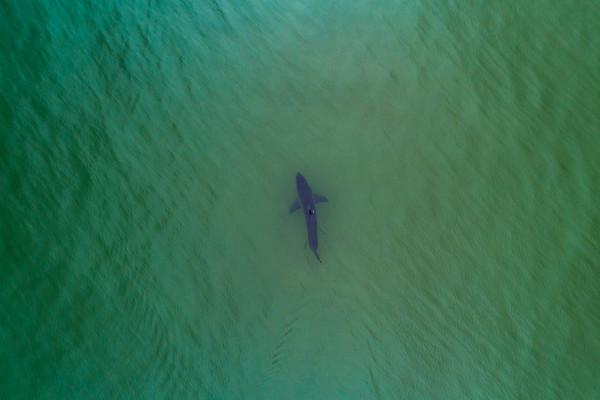 The Great White Shark Next Door // The Washington Post (2021)