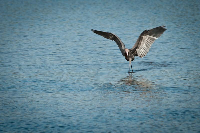 Reddish Egret at Ding Darling