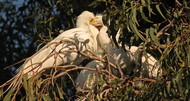 egretfeedingbabiesB1600.jpg