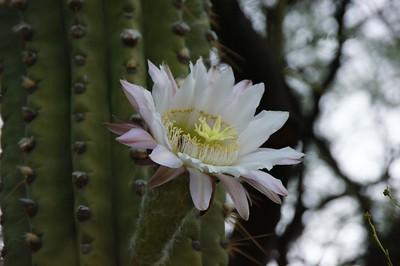Cardone Grande flower