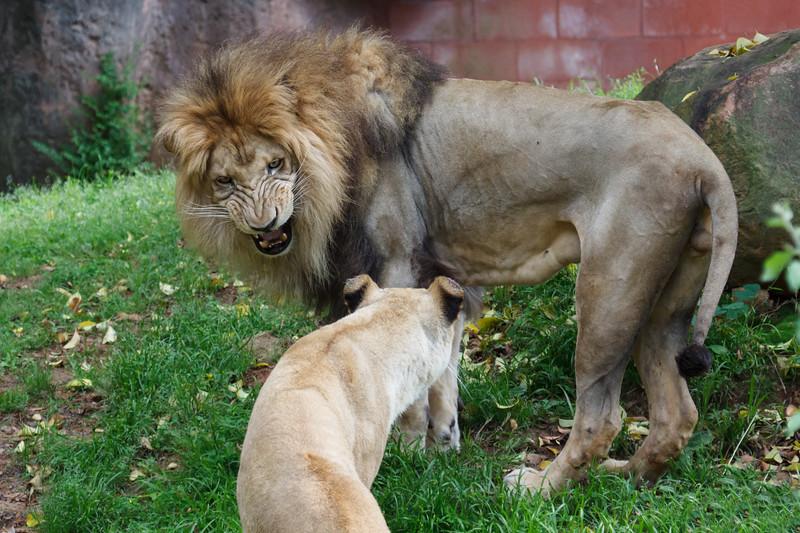 Lion encounter
