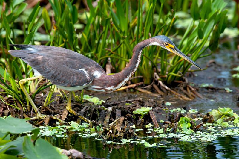 Great Blue Heron Chicks_5704 (2).jpg