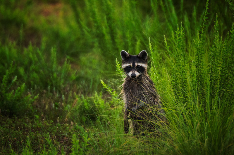 7.16.17 Beaver Lake Fish Nursery - Raccoon