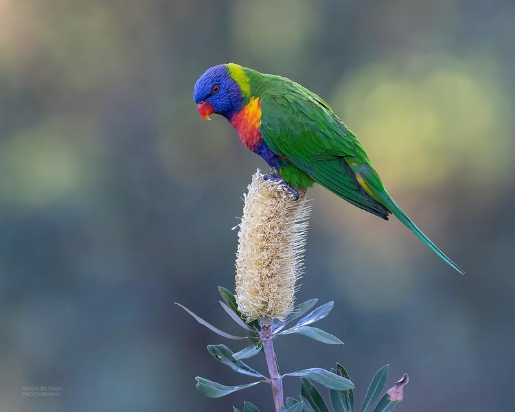 Rainbow Lorikeet, Tallai, QLD, June 2018-4.jpg