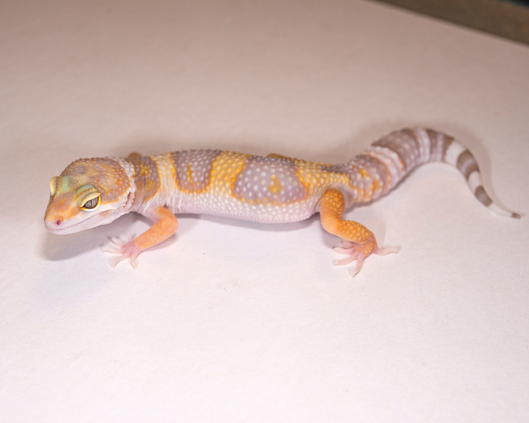 LG4115, $30, Tremper Albino male, 56+ grams